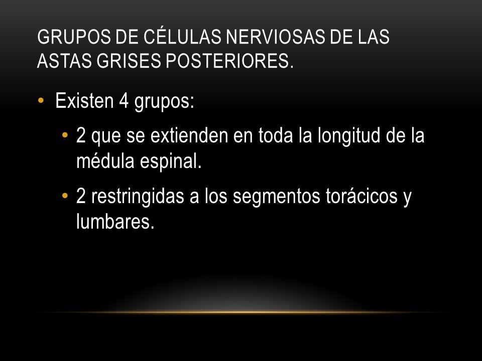 GRUPOS DE CÉLULAS NERVIOSAS DE LAS ASTAS GRISES POSTERIORES. Existen 4 grupos: 2 que se extienden en toda la longitud de la médula espinal. 2 restring