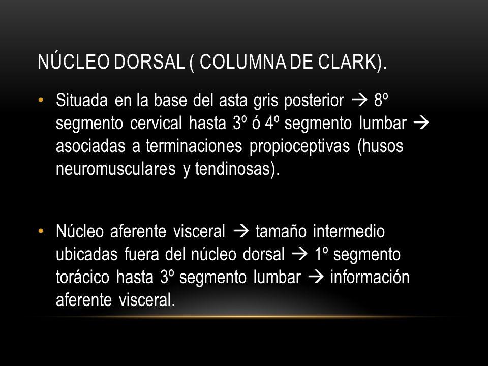 NÚCLEO DORSAL ( COLUMNA DE CLARK). Situada en la base del asta gris posterior 8º segmento cervical hasta 3º ó 4º segmento lumbar asociadas a terminaci