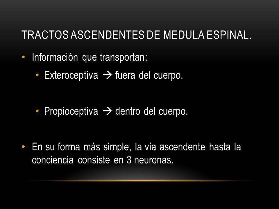 TRACTOS ASCENDENTES DE MEDULA ESPINAL. Información que transportan: Exteroceptiva fuera del cuerpo. Propioceptiva dentro del cuerpo. En su forma más s