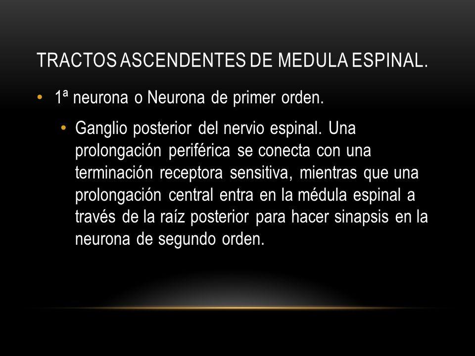 TRACTOS ASCENDENTES DE MEDULA ESPINAL. 1ª neurona o Neurona de primer orden. Ganglio posterior del nervio espinal. Una prolongación periférica se cone