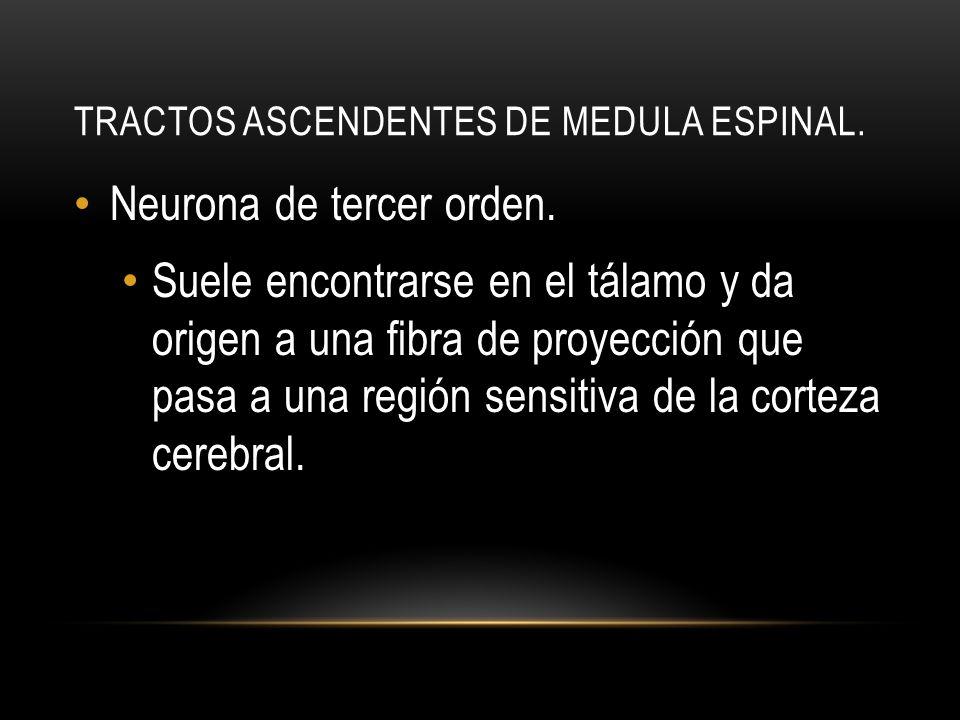 TRACTOS ASCENDENTES DE MEDULA ESPINAL. Neurona de tercer orden. Suele encontrarse en el tálamo y da origen a una fibra de proyección que pasa a una re
