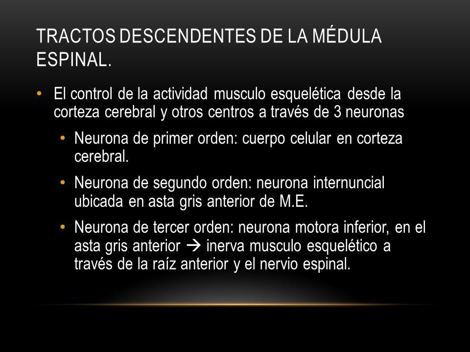 TRACTOS DESCENDENTES DE LA MÉDULA ESPINAL. El control de la actividad musculo esquelética desde la corteza cerebral y otros centros a través de 3 neur