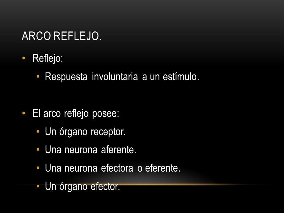 ARCO REFLEJO. Reflejo: Respuesta involuntaria a un estímulo. El arco reflejo posee: Un órgano receptor. Una neurona aferente. Una neurona efectora o e
