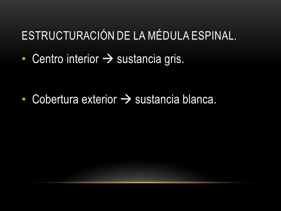 ESTRUCTURACIÓN DE LA MÉDULA ESPINAL. Centro interior sustancia gris. Cobertura exterior sustancia blanca.