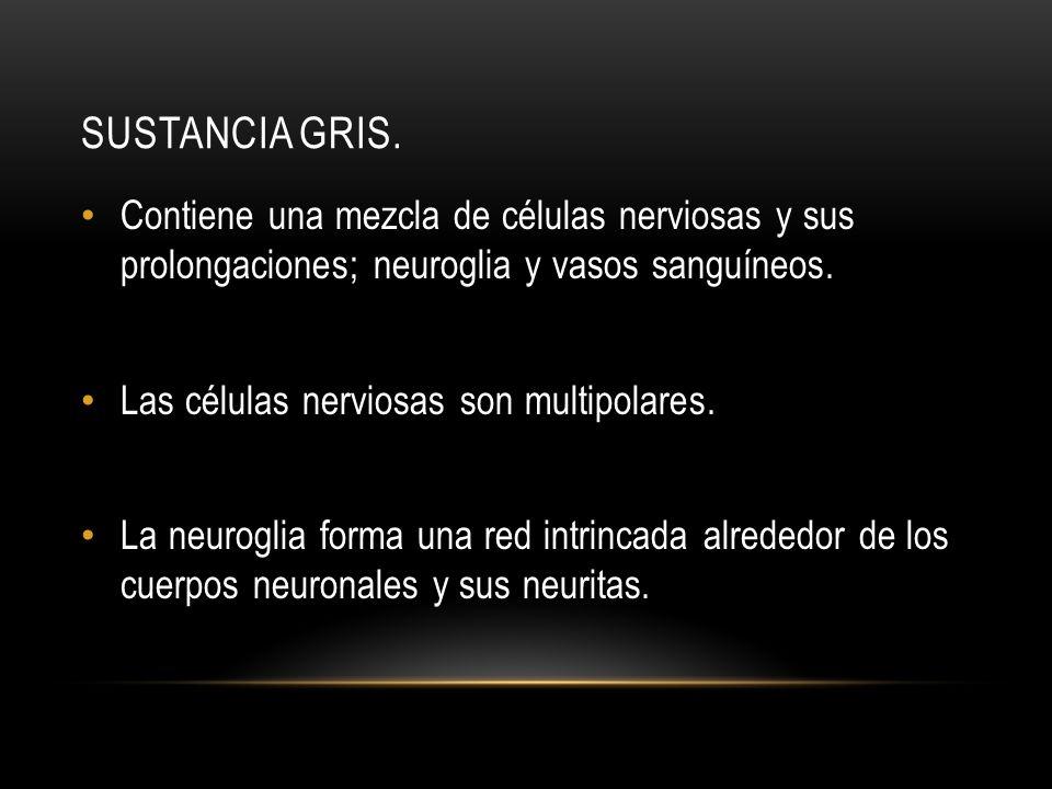 SUSTANCIA GRIS. Contiene una mezcla de células nerviosas y sus prolongaciones; neuroglia y vasos sanguíneos. Las células nerviosas son multipolares. L