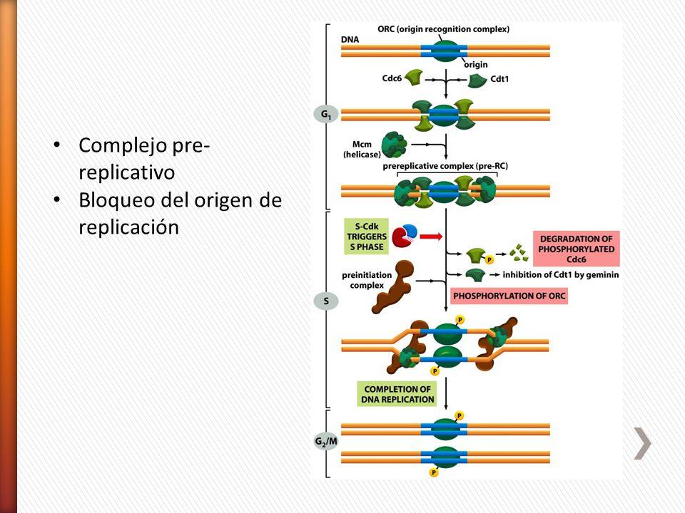 Complejo pre- replicativo Bloqueo del origen de replicación