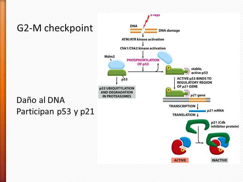 G2-M checkpoint Daño al DNA Participan p53 y p21
