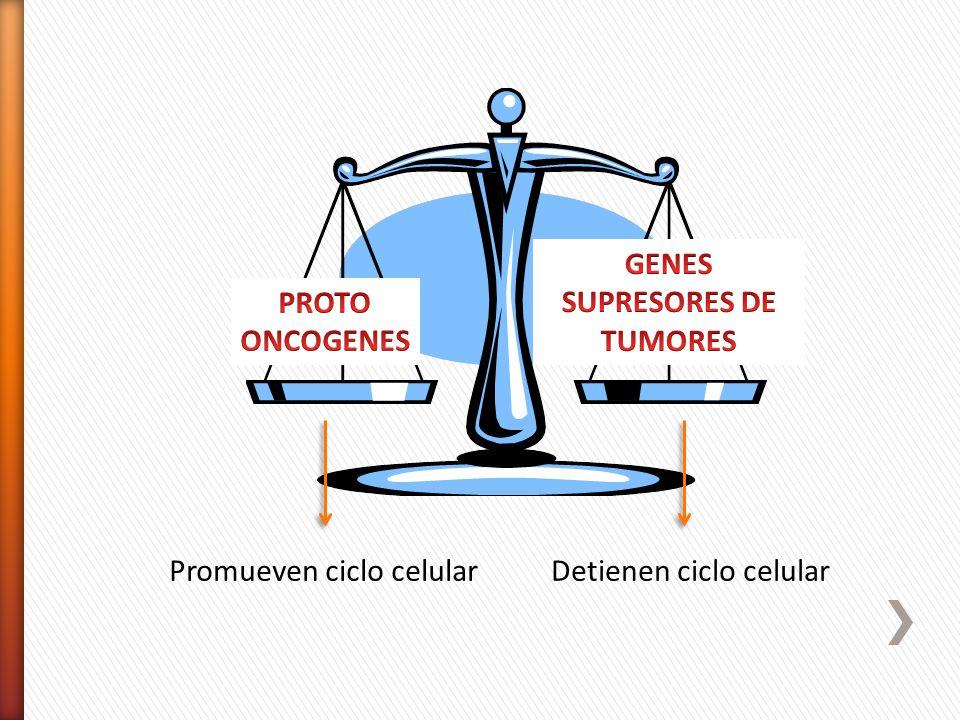 Promueven ciclo celularDetienen ciclo celular