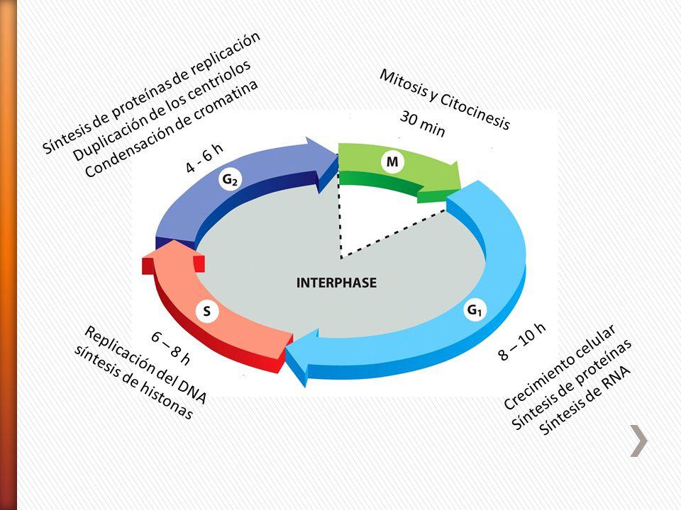 Crecimiento celular Síntesis de proteínas Síntesis de RNA Replicación del DNA síntesis de histonas Síntesis de proteínas de replicación Duplicación de