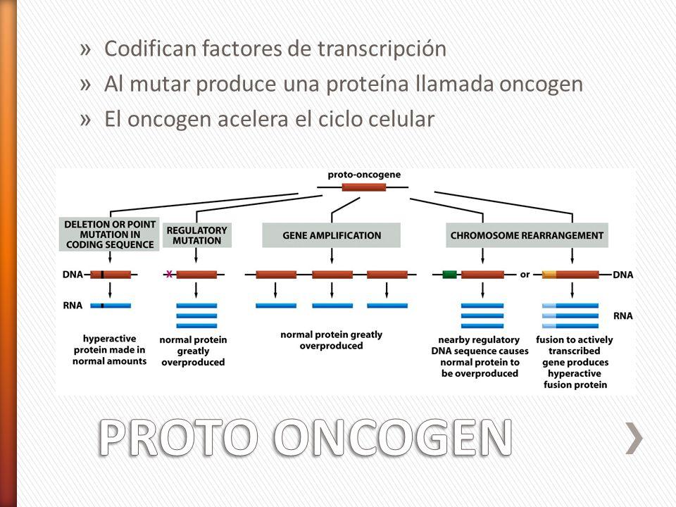 » Codifican factores de transcripción » Al mutar produce una proteína llamada oncogen » El oncogen acelera el ciclo celular