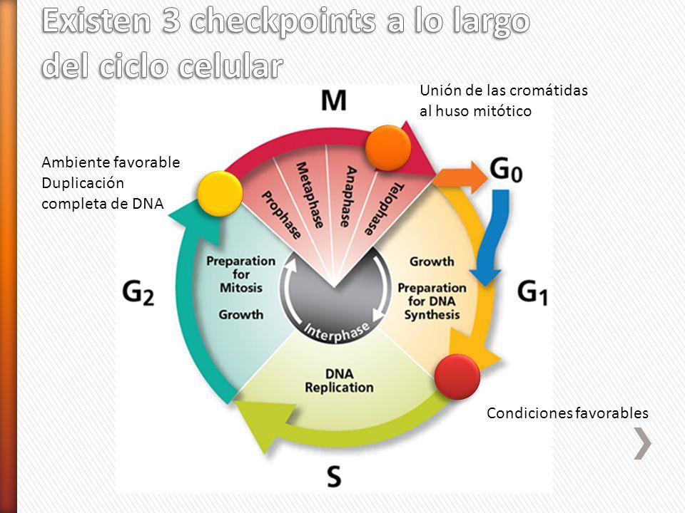 Ambiente favorable Duplicación completa de DNA Unión de las cromátidas al huso mitótico Condiciones favorables