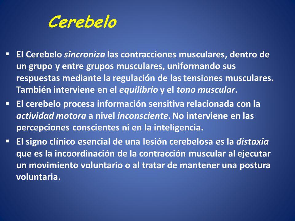 Cerebelo El Cerebelo sincroniza las contracciones musculares, dentro de un grupo y entre grupos musculares, uniformando sus respuestas mediante la reg
