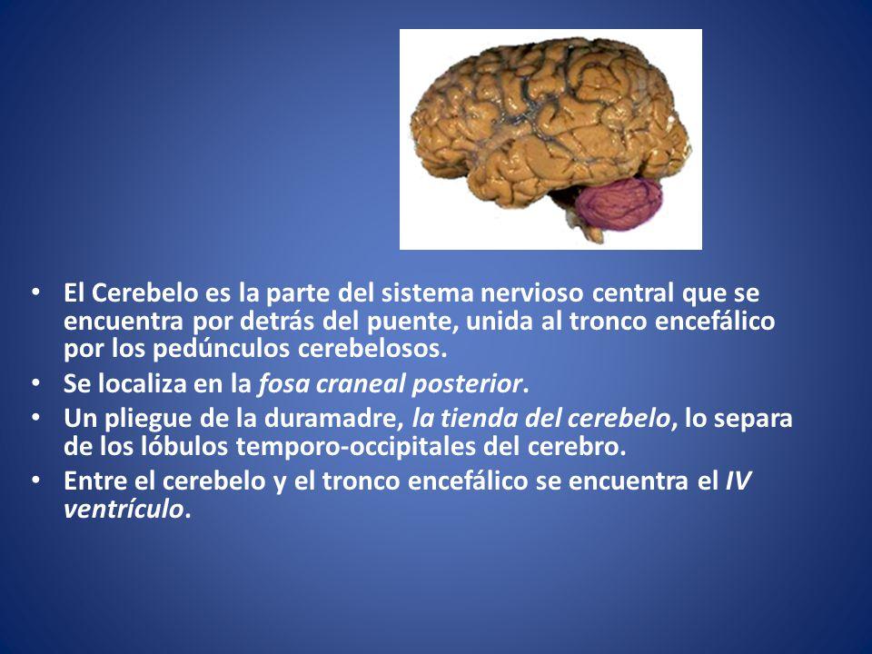Cerebelo El Cerebelo es la parte del sistema nervioso central que se encuentra por detrás del puente, unida al tronco encefálico por los pedúnculos ce
