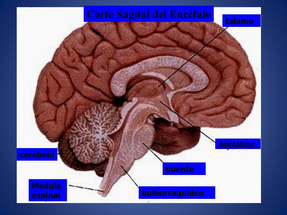 Corte Sagital del Encéfalo talamo hipotalamo puente bulborraquideo cerebelo Medula espinal