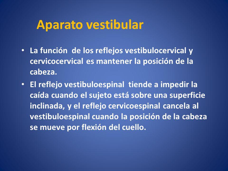 Aparato vestibular La función de los reflejos vestibulocervical y cervicocervical es mantener la posición de la cabeza. El reflejo vestibuloespinal ti