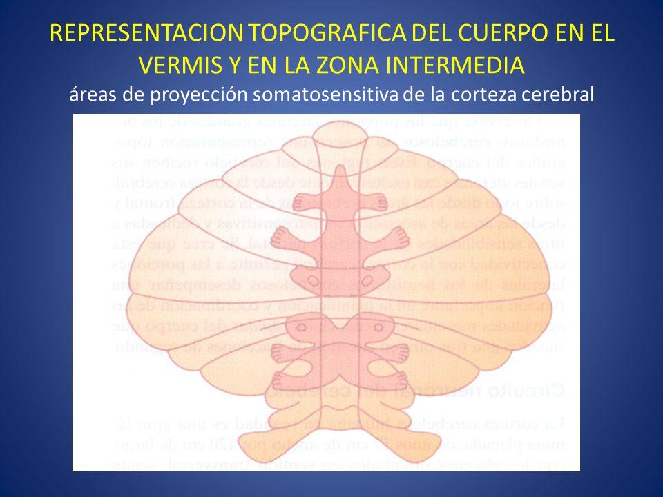 REPRESENTACION TOPOGRAFICA DEL CUERPO EN EL VERMIS Y EN LA ZONA INTERMEDIA áreas de proyección somatosensitiva de la corteza cerebral