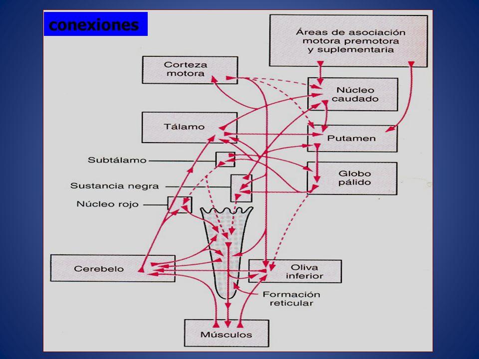 Ataxia o incoordinación de los movimientos voluntarios: La alteración de la coordinación de los movimientos voluntarios da lugar a la aparición de hipermetría, asinergia, discronometría y adiadococinesia.
