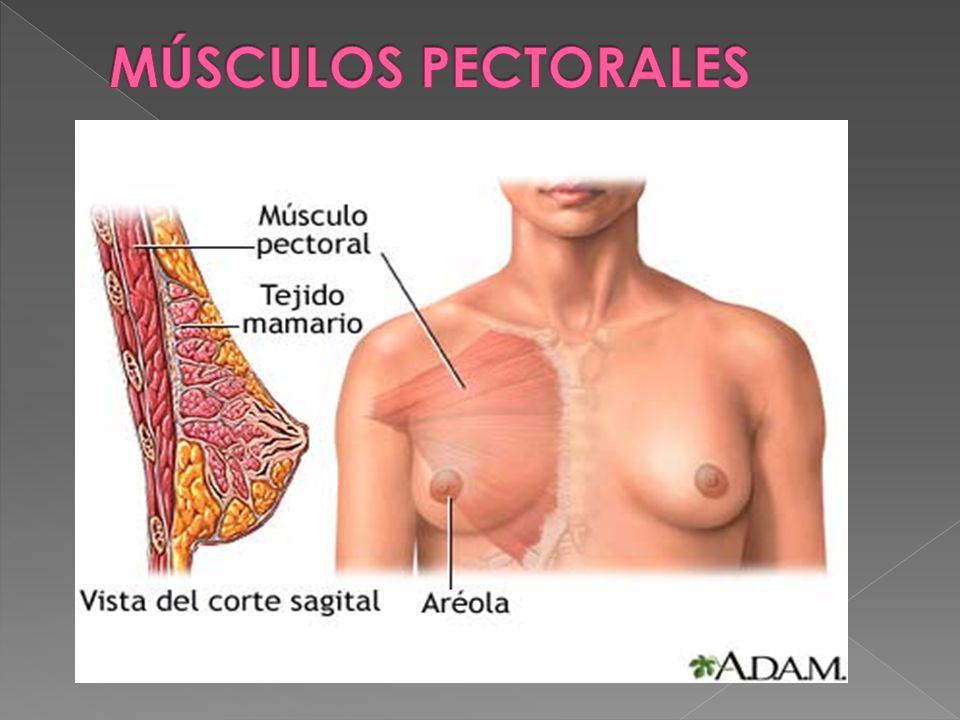 Es un músculo superficial, plano, ubicado en la región anterosuperior del tórax.músculotórax Se origina en la mitad medial del borde anterior de la clavícula, cara anterior del esternón, 6 primeros cartílagos costales y aponeurosis del oblicuo externo, para luego insertarse en el labio externo o lateral de la corredera bicipital (también conocida como surco intertubercular)clavículaesternóncartílagos aponeurosis labio Está inervado por los nervios pectorales medial (C8 y T1) y lateral (C5, C6 y C7), que tienen origen en el plexo braquial.