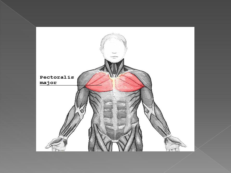 El músculo pectoral menor es un músculo delgado, aplanado y triangular, que está situado debajo del músculo pectoral mayor.músculomúsculo pectoral mayor Se inserta mediante tres lengüetas tendinosas en el borde superior y la cara externa de la tercera, cuarta y quinta costillas.