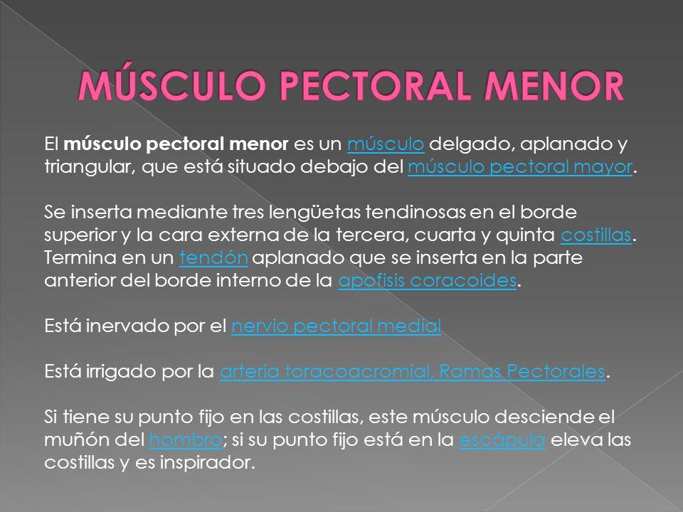 El músculo pectoral menor es un músculo delgado, aplanado y triangular, que está situado debajo del músculo pectoral mayor.músculomúsculo pectoral may