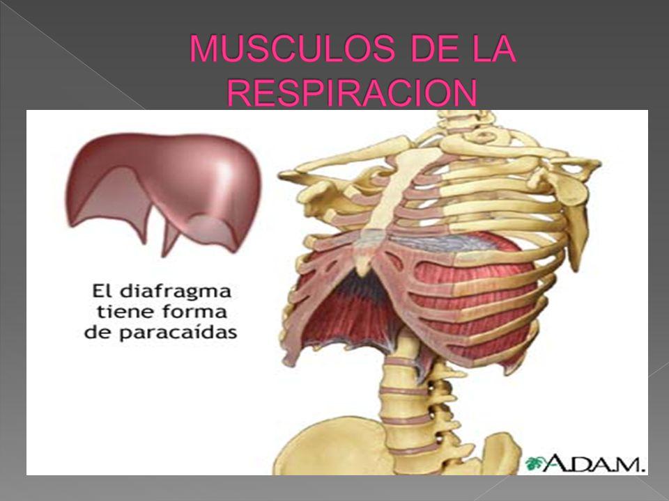 DESCRIPCIÓN Es el músculo más plano de todo el organismo, en forma de bóveda que cierra por arriba la cavidad abdominal y limita por abajo la cavidad torácica.