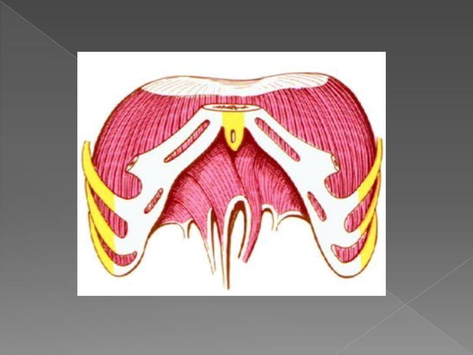 ORIGEN se origina en la apofisis xifoides del esternon, cartilagos costales de las seis costillas inferiores y vertebras lumbares.