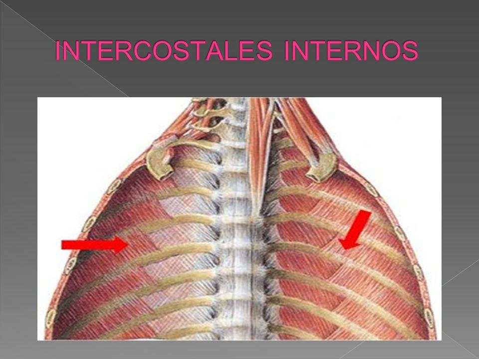 DESCRIPCIÓN Se observan al quitar a los intercostales externos.