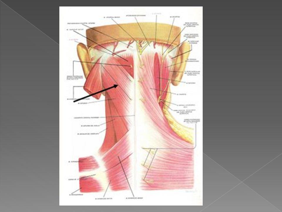ORIGEN: apófisis espinosas de las vertebras torácicas tercera a sexta.