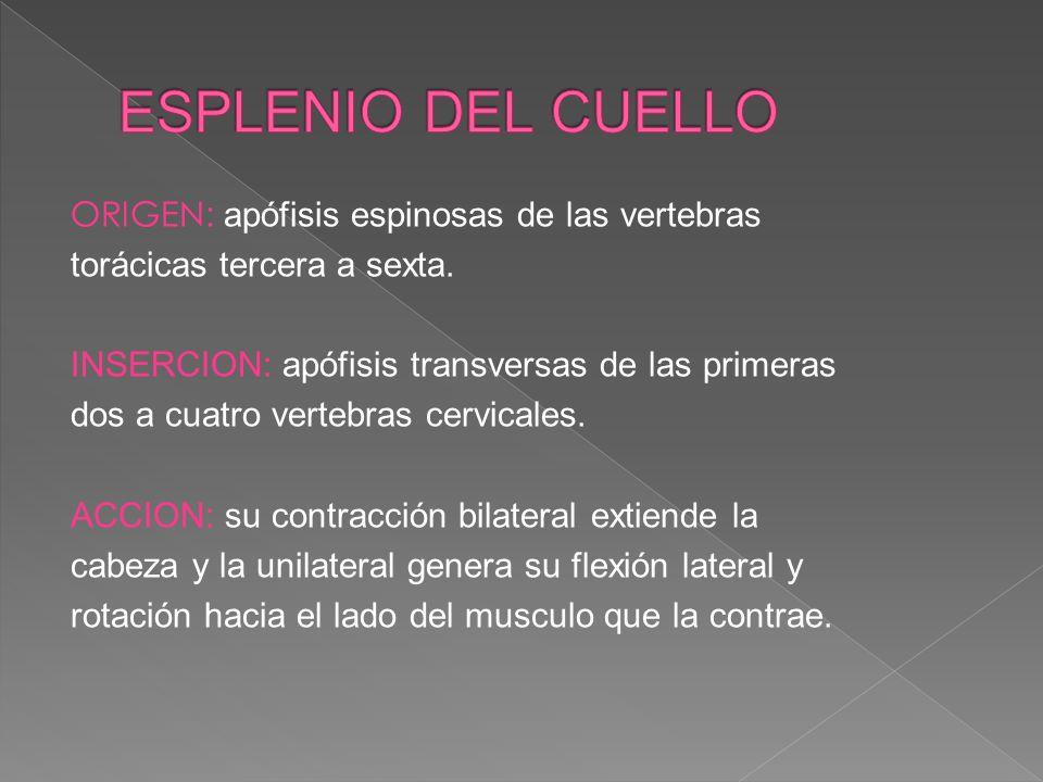 ORIGEN: apófisis espinosas de las vertebras torácicas tercera a sexta. INSERCION: apófisis transversas de las primeras dos a cuatro vertebras cervical