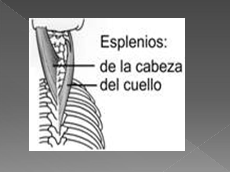 GRUPO EXTERNO ILIOCOSTAL CERVICAL ORIGEN: las seis costillas superiores INSERCION: apófisis transversas de las vertebras cervicales cuatro a sexta.