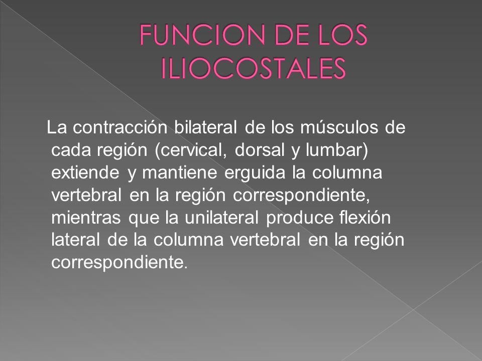 La contracción bilateral de los músculos de cada región (cervical, dorsal y lumbar) extiende y mantiene erguida la columna vertebral en la región corr