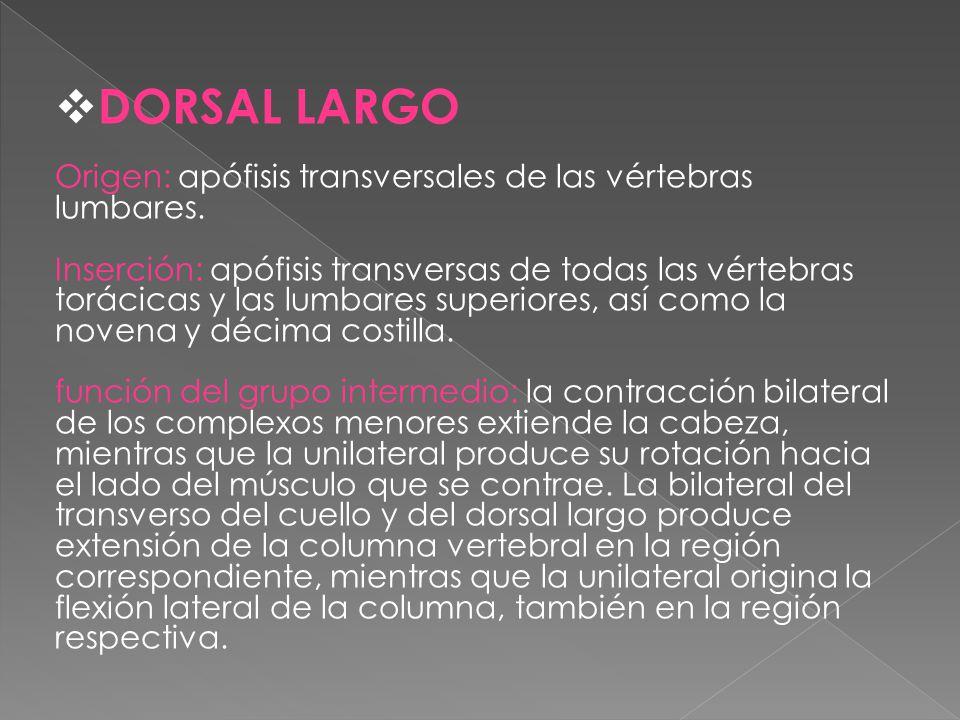 DORSAL LARGO Origen: apófisis transversales de las vértebras lumbares. Inserción: apófisis transversas de todas las vértebras torácicas y las lumbares