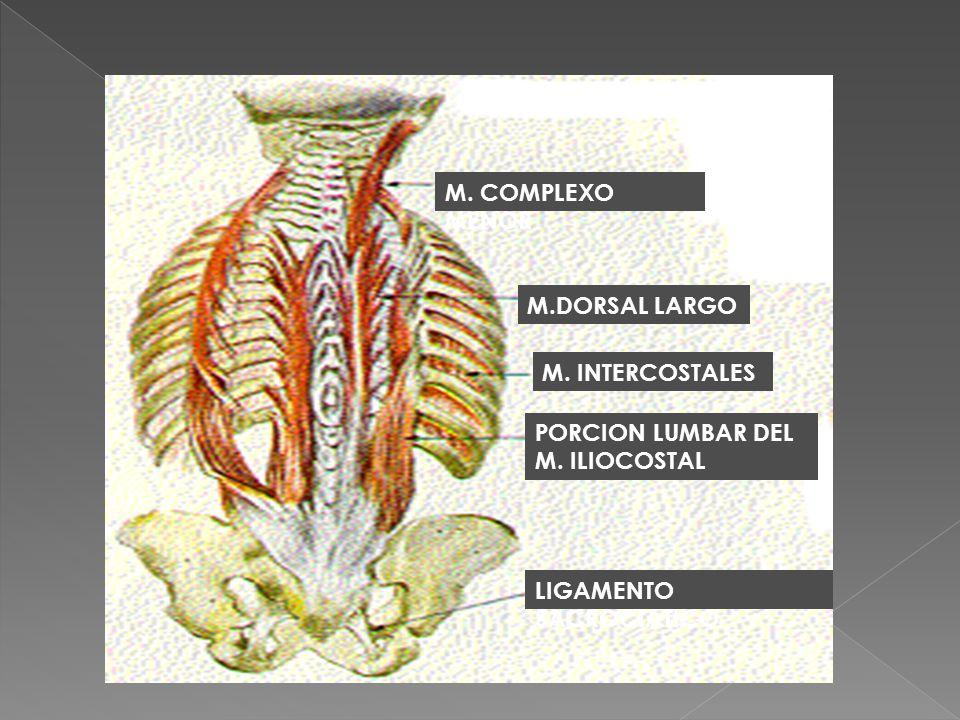 M.DORSAL LARGO M. COMPLEXO MENOR M. INTERCOSTALES PORCION LUMBAR DEL M. ILIOCOSTAL LIGAMENTO SACROCIATICO