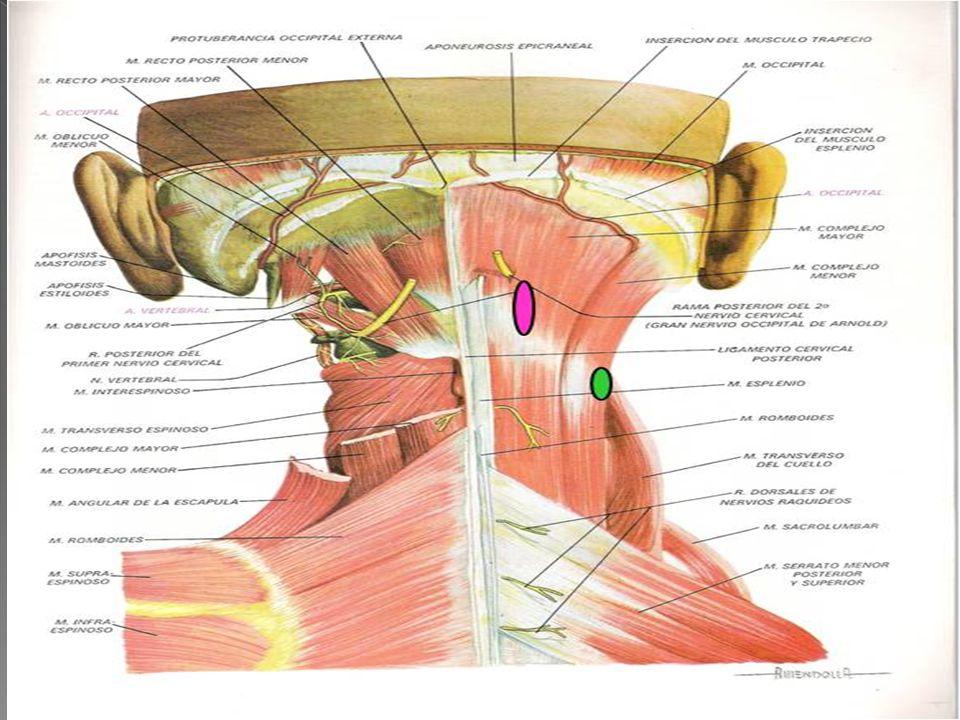 Se origina en las apófisis transversas de las primeras seis o siete vértebras dorsales y séptima cervical y apófisis articulares de la cuarta, quinta y sexta vértebras dorsales; extiende y rota la columna vertebral hacia el lado opuesto.