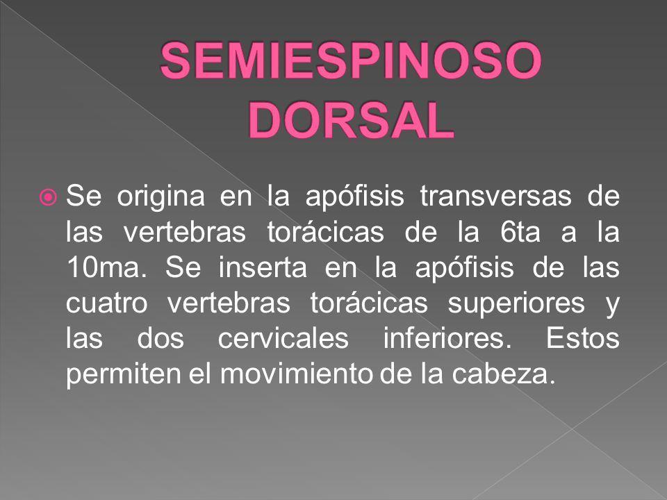 Se origina en la apófisis transversas de las vertebras torácicas de la 6ta a la 10ma. Se inserta en la apófisis de las cuatro vertebras torácicas supe