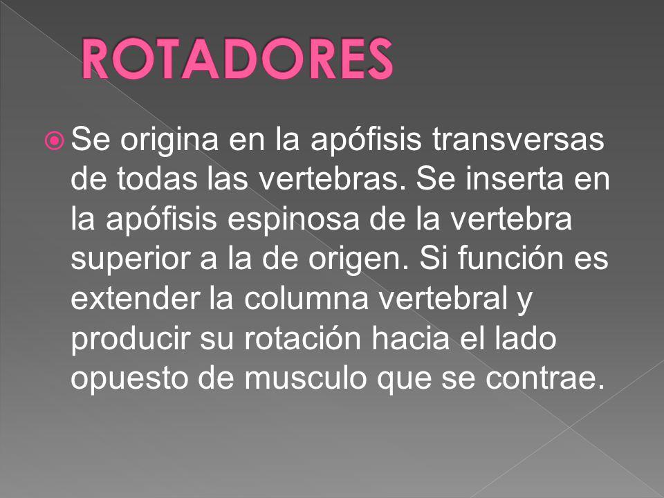 Se origina en la apófisis transversas de todas las vertebras. Se inserta en la apófisis espinosa de la vertebra superior a la de origen. Si función es
