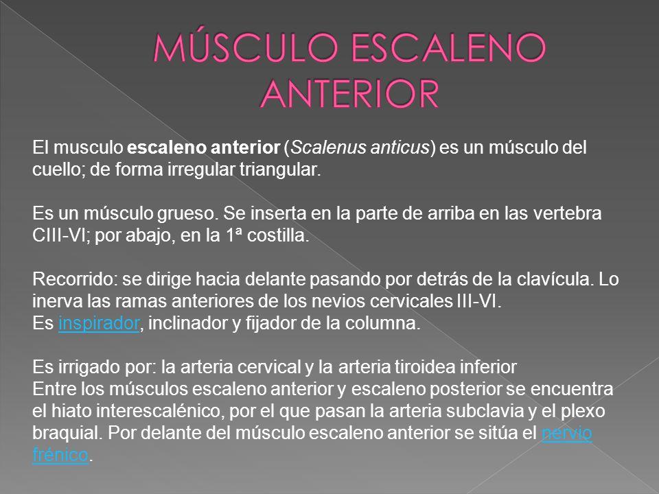 El musculo escaleno anterior (Scalenus anticus) es un músculo del cuello; de forma irregular triangular. Es un músculo grueso. Se inserta en la parte