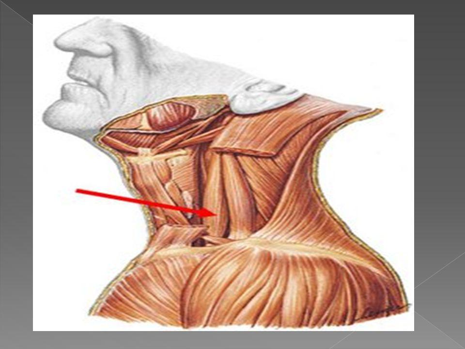 El escaleno medio es un musculo que se inserta en el tubérculo anterior de la 2ª, 3ª, 4ª, 5ª y 6º vertebra cervical, así como en la apófisis transversa de la 7ª vértebra cervical.