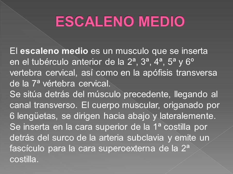 El escaleno medio es un musculo que se inserta en el tubérculo anterior de la 2ª, 3ª, 4ª, 5ª y 6º vertebra cervical, así como en la apófisis transvers