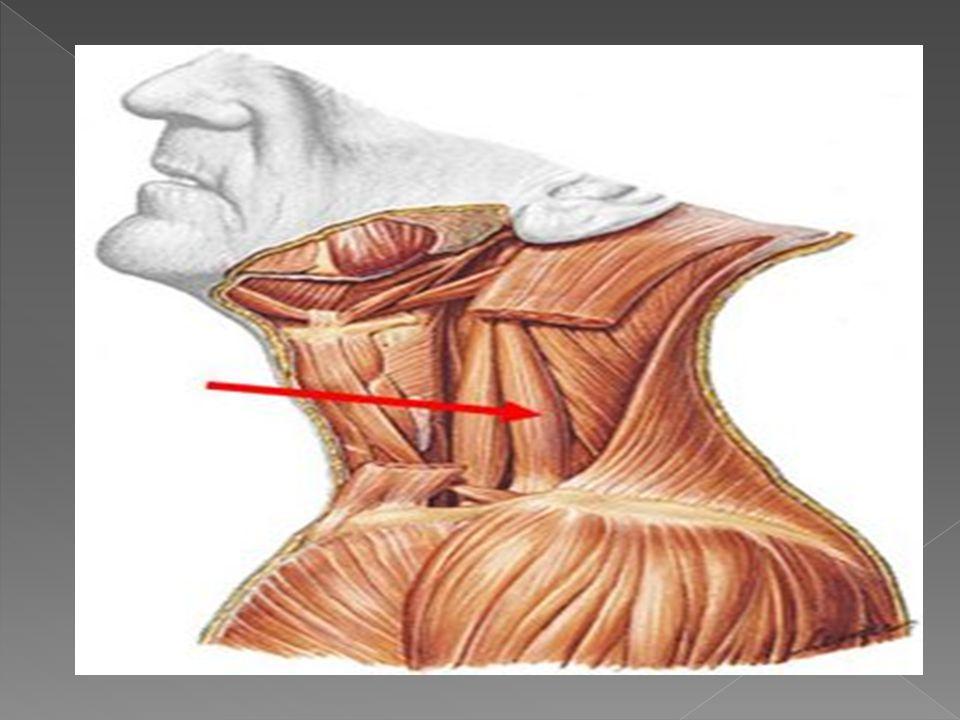 Se origina en las Vertebras Cervicales 4,5 y 6 de ahí desciende a diferencia de los otros en la 2 costilla y en algunas ocaciones en la 3 (dependiendo del cuerpo), por delante entre el Escaleno Medio y el Posterior pasa el Nervio de Bell.