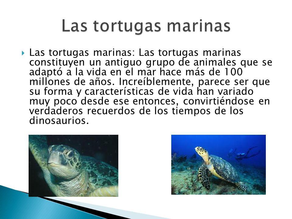 Las tortugas marinas: Las tortugas marinas constituyen un antiguo grupo de animales que se adaptó a la vida en el mar hace más de 100 millones de años