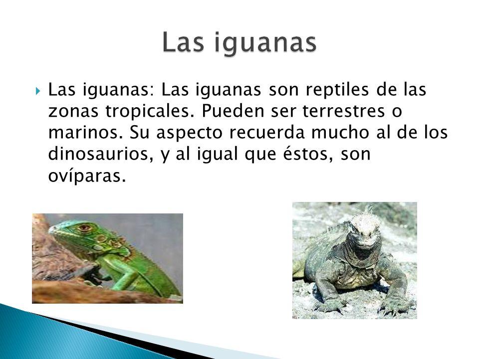 Las iguanas: Las iguanas son reptiles de las zonas tropicales. Pueden ser terrestres o marinos. Su aspecto recuerda mucho al de los dinosaurios, y al