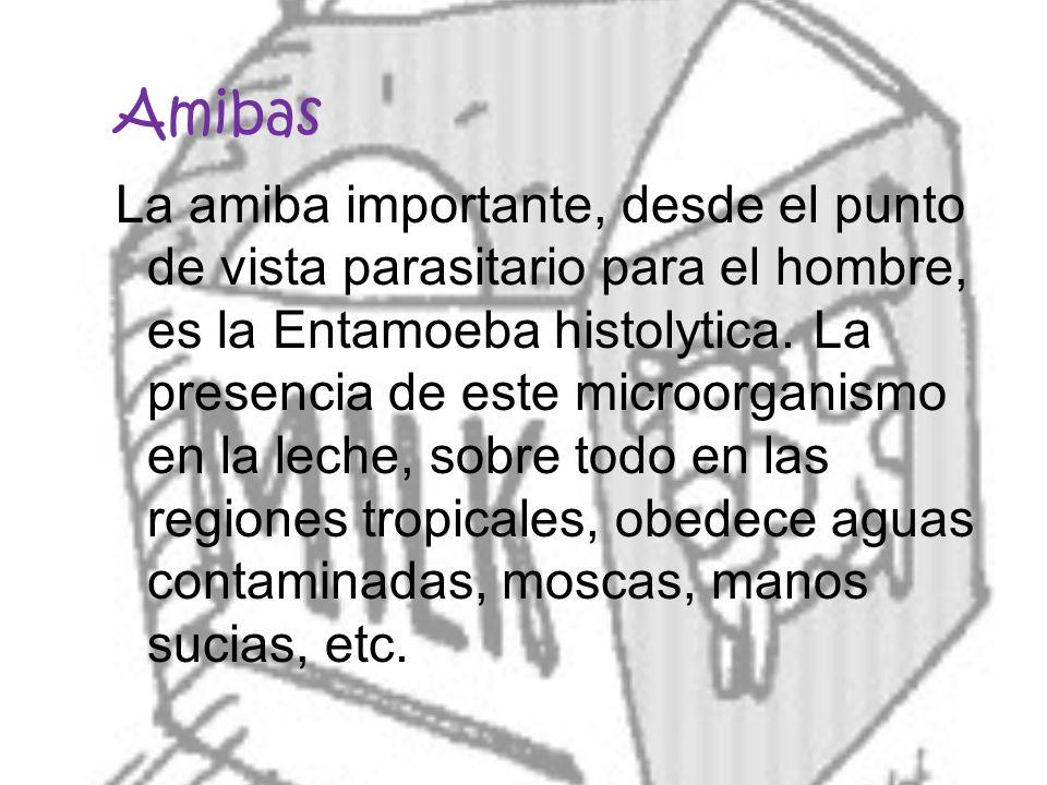 Amibas La amiba importante, desde el punto de vista parasitario para el hombre, es la Entamoeba histolytica. La presencia de este microorganismo en la