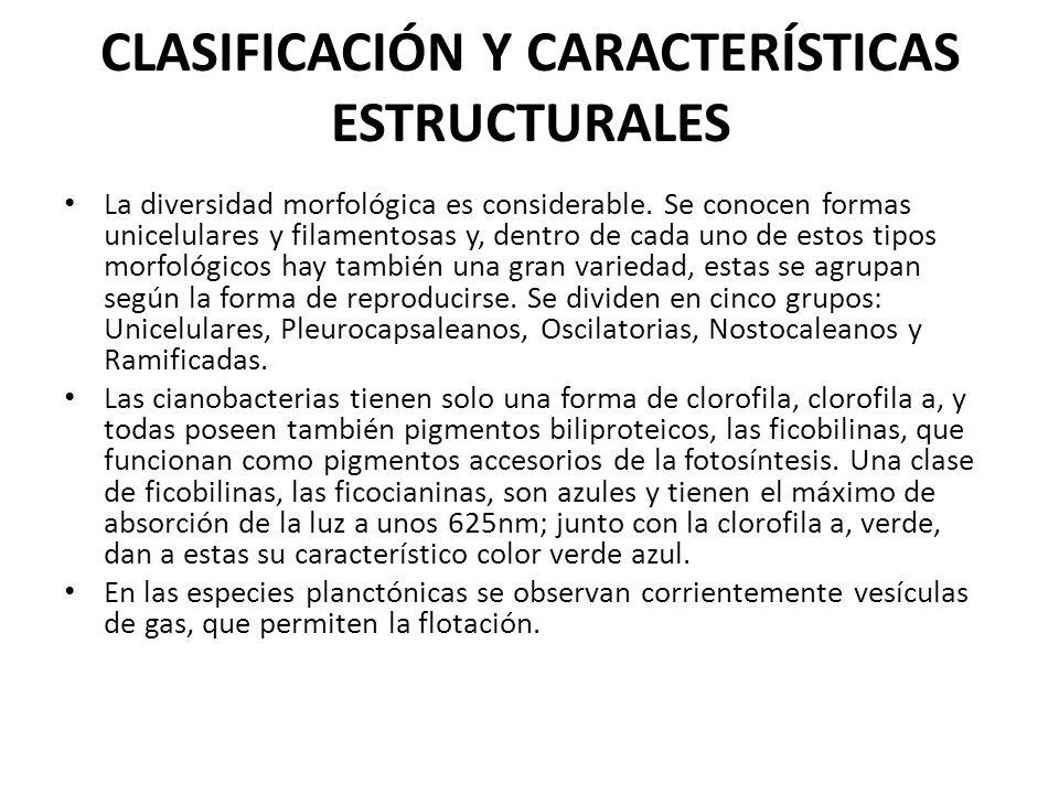 CLASIFICACIÓN Y CARACTERÍSTICAS ESTRUCTURALES La diversidad morfológica es considerable. Se conocen formas unicelulares y filamentosas y, dentro de ca