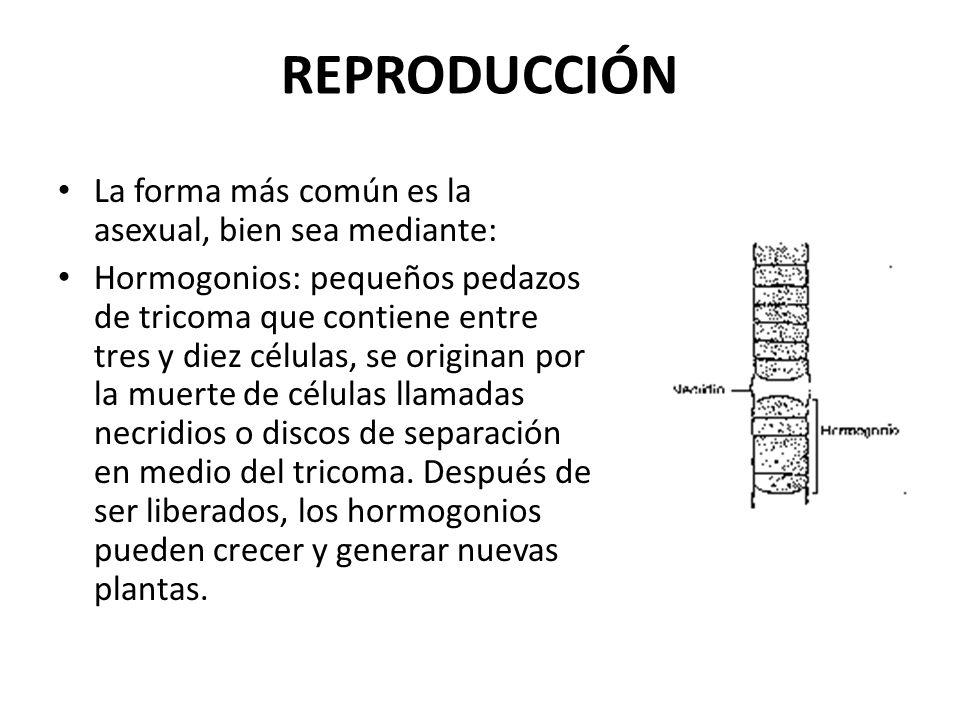 REPRODUCCIÓN La forma más común es la asexual, bien sea mediante: Hormogonios: pequeños pedazos de tricoma que contiene entre tres y diez células, se