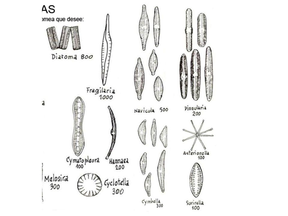 La capacidad de fijar N2 confiere a las cianofitas que la poseen un significado especial en el medio acuático, pues regulan la relación entre el fósforo y el nitrógeno de las aguas.