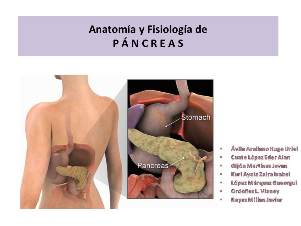 Situación Anatómica del Páncreas Situado delante de los vasos gruesos abdominales corresponde a L1-L2 Situado en la región epigástrica y en hipocondrio izquierdo, la porción derecha se encuentra a la altura de cuerpos vertebrales Ñ1-L3