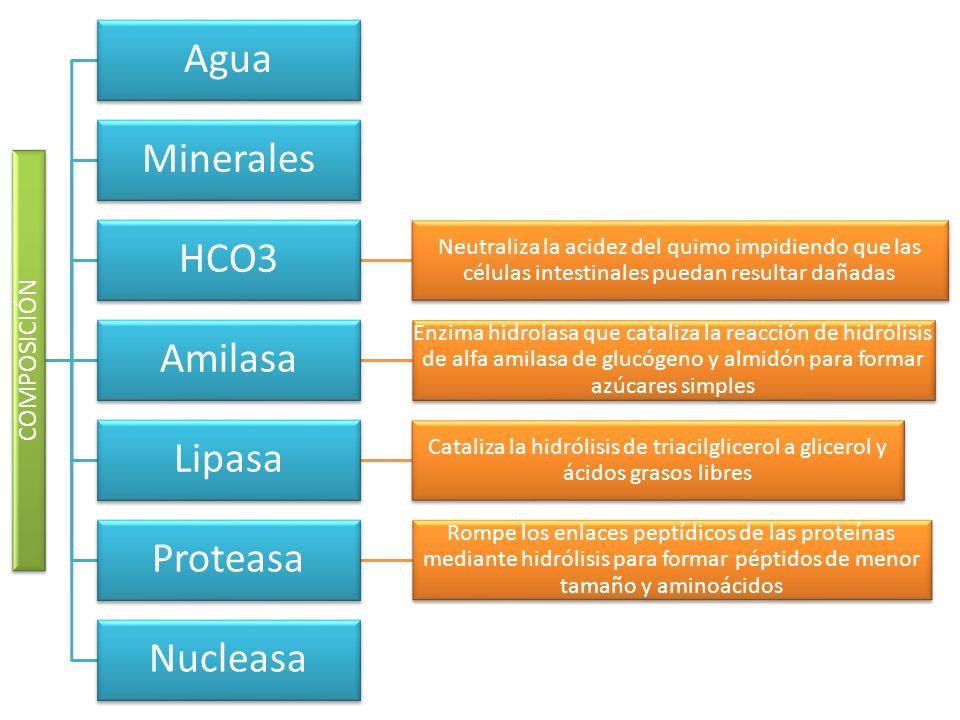 COMPOSICIÓN Agua Minerales HCO3 Neutraliza la acidez del quimo impidiendo que las células intestinales puedan resultar dañadas Amilasa Enzima hidrolas