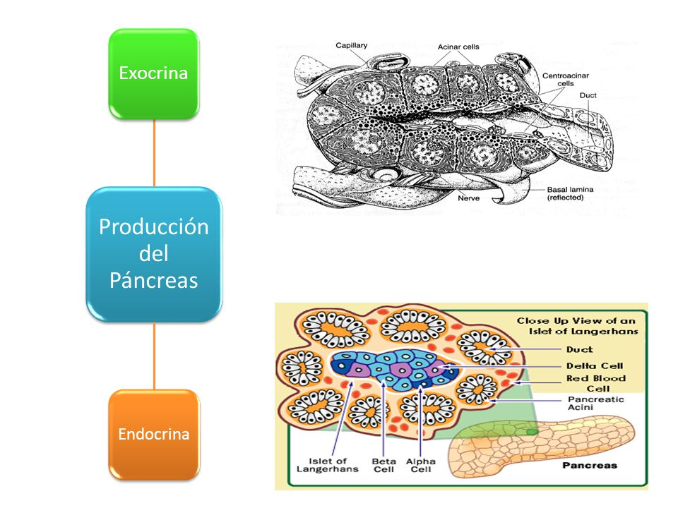 Producción del Páncreas Exocrina Endocrina