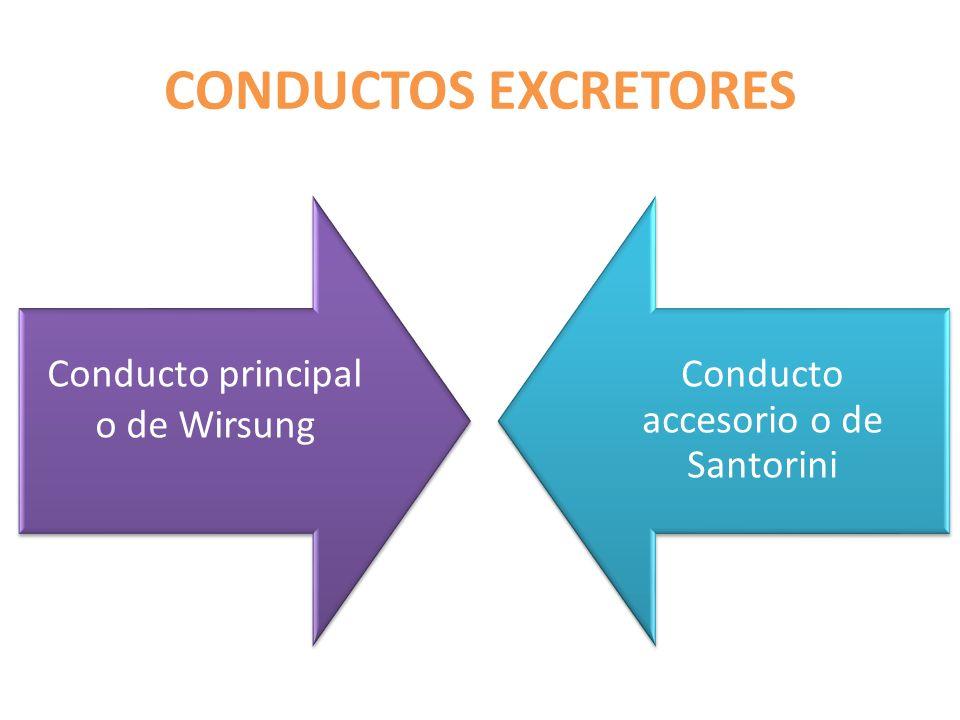 CONDUCTOS EXCRETORES Conducto principal o de Wirsung Conducto accesorio o de Santorini